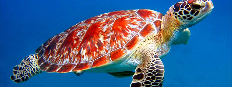 Sea turtle: Interesting creature
